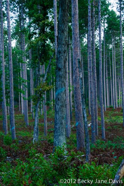 pines-0057