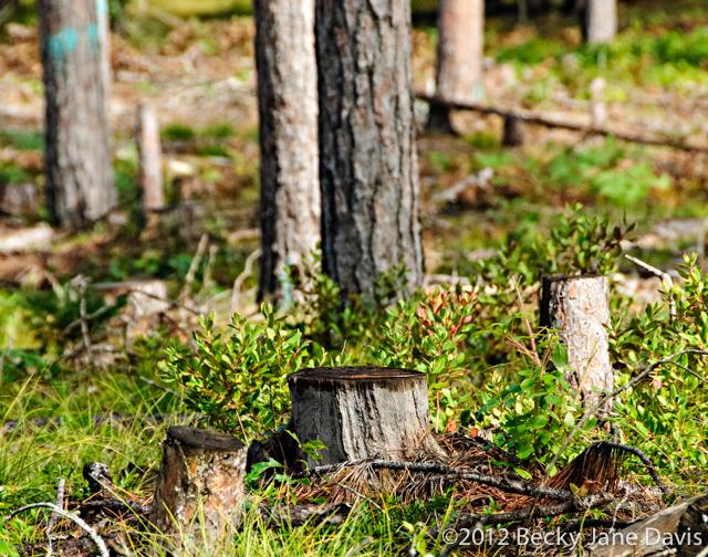 pines-0061