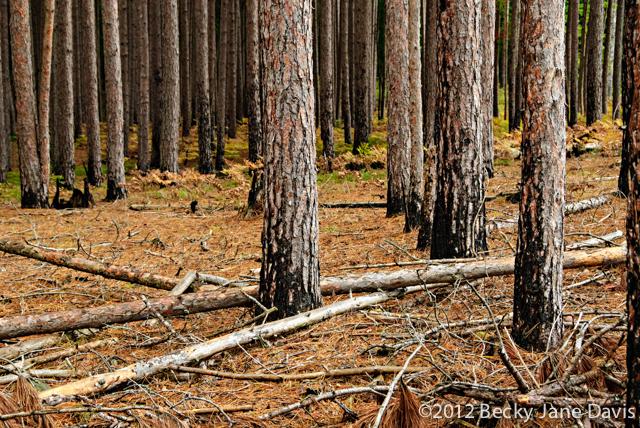 pines-0065