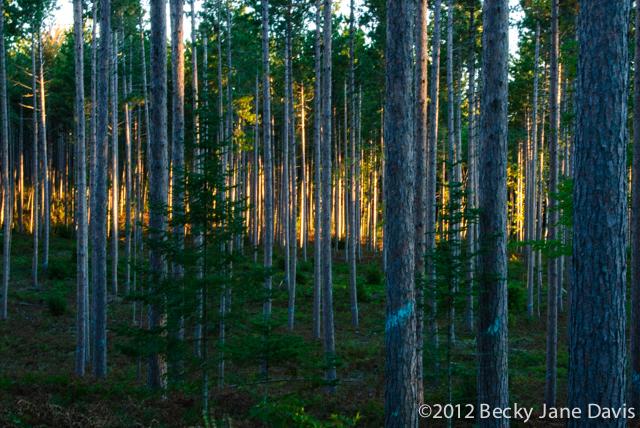 pines-0071