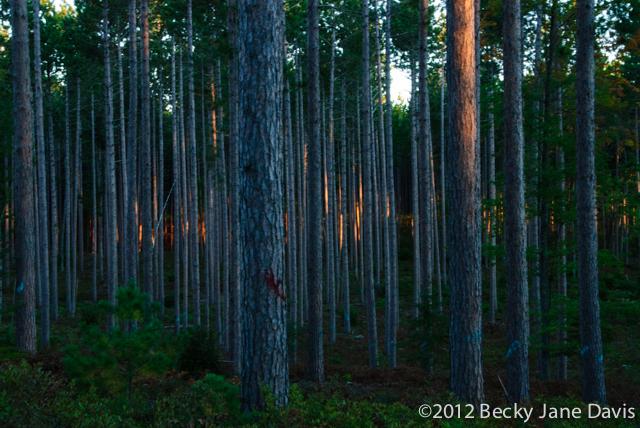 pines-0074