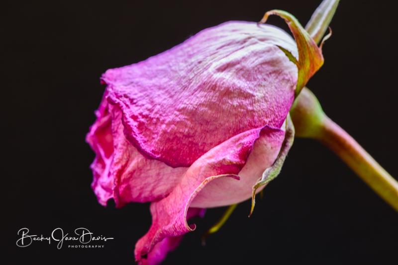 roses_0002