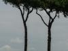 hiddengems-umbrella-pines