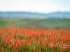 SanQuirico_03-red-poppies
