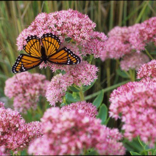 Monarch on Autumn Sedum Joy